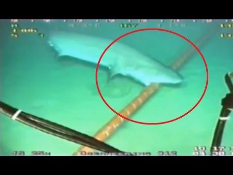 Shark Bites Fiber Optic Cables Undersea 15.8.2014
